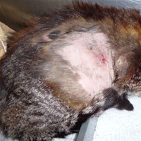 dogs analysis glands cushing s disease