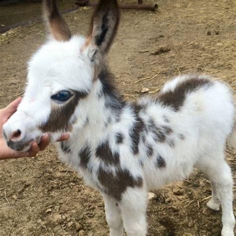 baby miniature donkeys www imgkid com the image kid