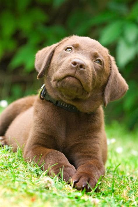 brown puppy names labrador brown www pixshark images galleries with a bite