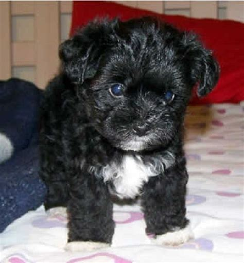 yorkie poo puppies for sale australia 25 best ideas about yorkie poo puppies on terriers
