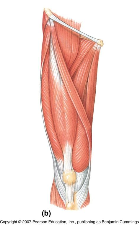 quadricep tattoo pain leg muscle diagram labeled google search sports med