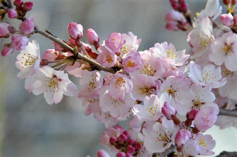 imágenes flores japonesas los cerezos en flor aportan un rayo de esperanza a los