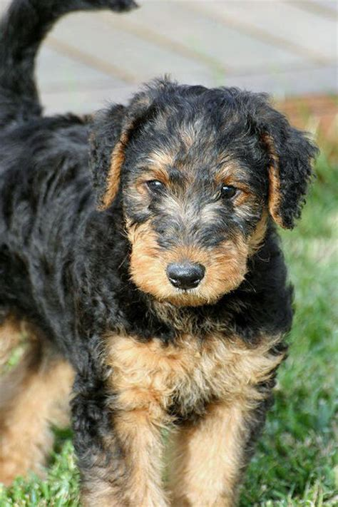 airedale puppies puppy pictures and review