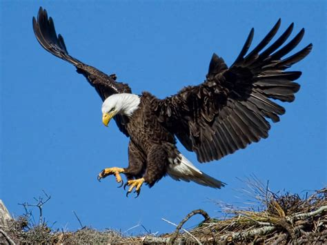 bald eagle blue sky spread wings sharp claws hd wallpaper