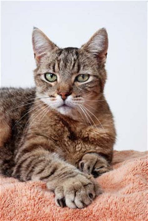 types of cats the 10 best types of cat britannica