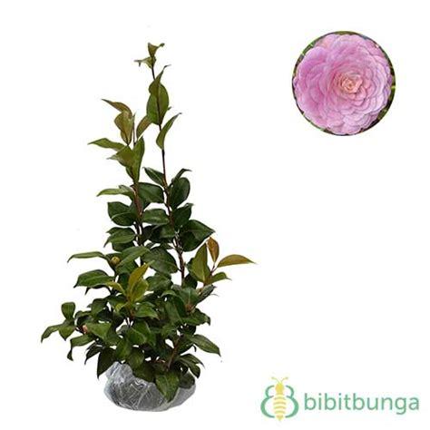 Tanaman Hias Camelia Lolypop tanaman pink camellia japonica jual tanaman hias