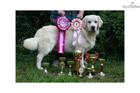 golden retriever for sale denver has it all golden retriever puppy for sale near denver colorado 87044a81 cae1