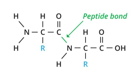 diagram of peptide bond fats and proteins biology visionlearning