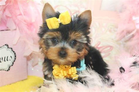 teacup yorkies for sale in florida 17 best images about t cup yorkies for sale in florida on home tea cups