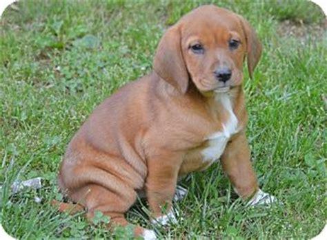 redbone coonhound golden retriever mix glastonbury ct redbone coonhound labrador retriever mix meet gidget a puppy for