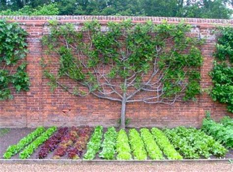 espalier fig tree related keywords espalier fig tree