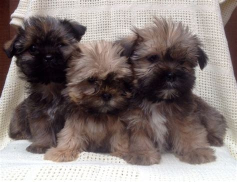 shih tzu or yorkie yorkie x shih tzu puppies for sale llanfyllin powys pets4homes