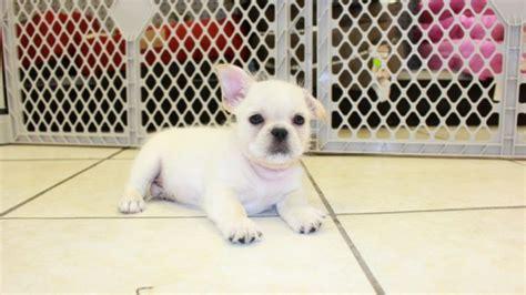 bull shih tzu puppies for sale white bull shih puppies for sale in atlanta ga bulldog