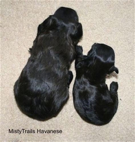 puppy umbilical cord whelping when things go wrong puppy with umbilical cord attached breeds picture