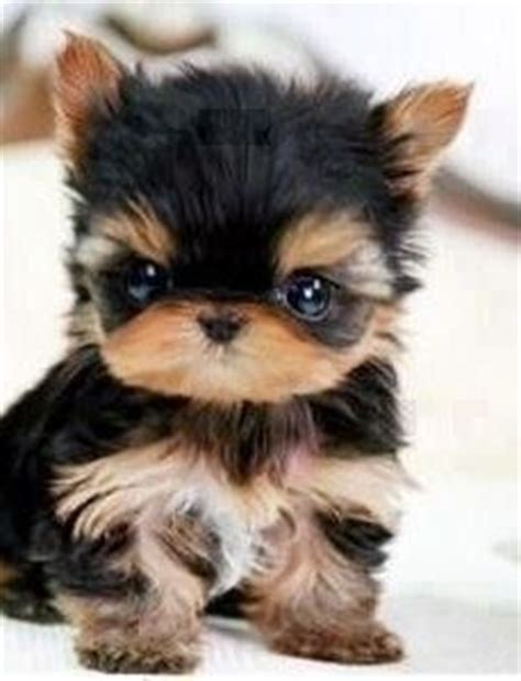 Small Breeds No Shed by 1000 Ideas About Smallest Breeds On Smallest Chiwawa Breeds And Breeds Of