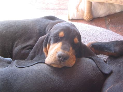 black and coonhound puppy black and coonhound dogs photo and wallpaper beautiful black and coonhound