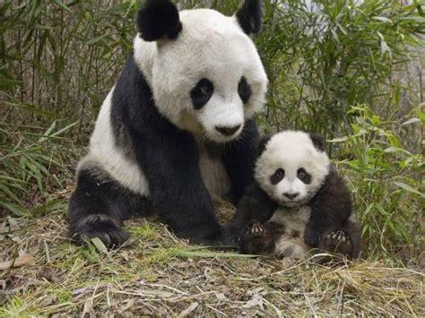 pengertian tentang hewan panda nensymaolata