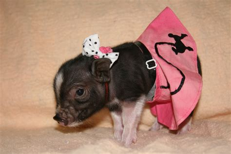 teacup clothes teacup pig in clothes