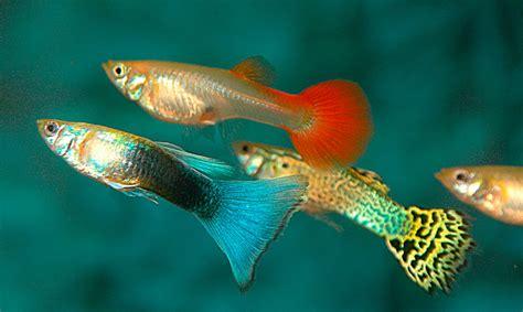 los peces de la pez guppy informaci 243 n qu 233 come d 243 nde vive c 243 mo nace