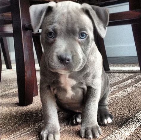 blue nose pit puppies best 25 blue nose pitbull puppies ideas on blue pits blue nose pitbull