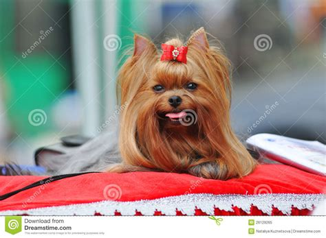 yorkie show terrier show class royalty free stock photo image 26129265
