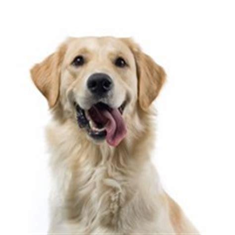 lipoma golden retriever kennel club charitable trust companion animal epidemiologist disorders of uk