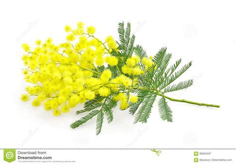 immagine di mimosa fiore immagini mimosa fiore significato dei fiori la mimosa ecco