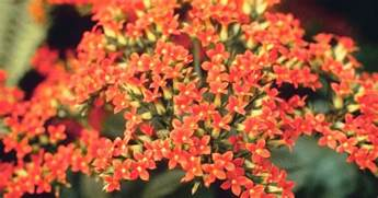 how to care for kalanchoe plants ehow uk