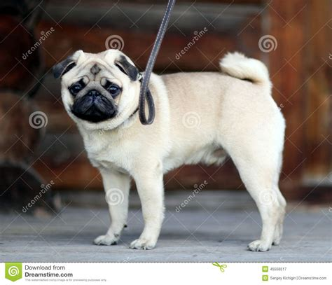 all white pugs sad white pug stock photo image 45556517