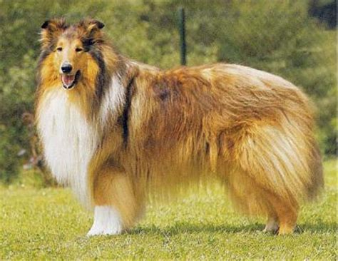golden retriever pelo qual a melhor ra 231 a de cachorro