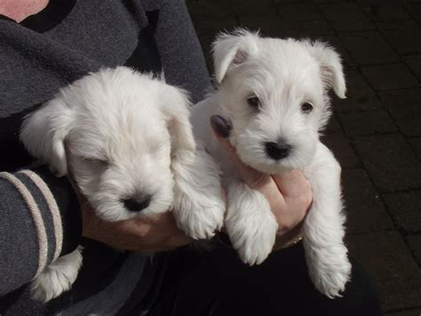 white miniature schnauzer puppies yorkie puppies advertise on web teacup yorkie dogs breeds picture