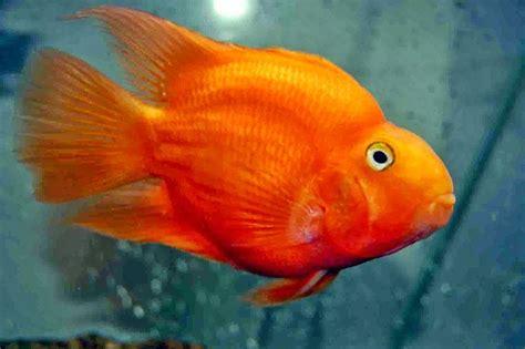 Ikan Parrot Ikan Parrot Ikan Hiasku