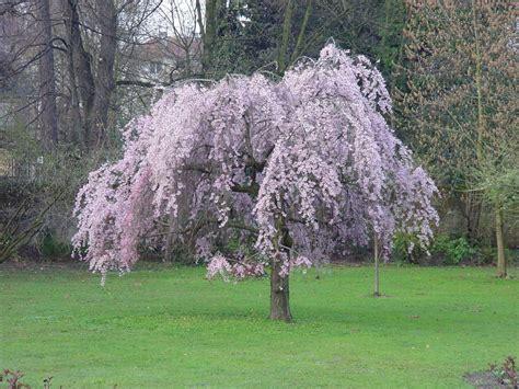 prunus pendular rubra japanese flowering cherry plants chris bowers