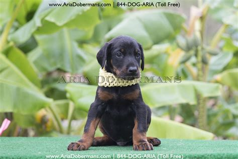 doberman puppies for sale in chicago dobermanpinscher