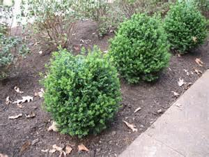 plant guide buxus x green mountain green