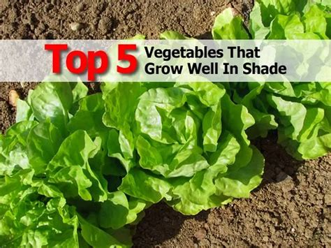 what garden vegetables like shade top 5 vegetables that grow well in shade