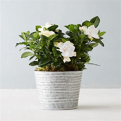 gardenia ridged pot terrain