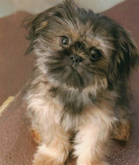 the cutest shih tzu in the world 17 best images about shih tzu world on animal pictures image search and pets