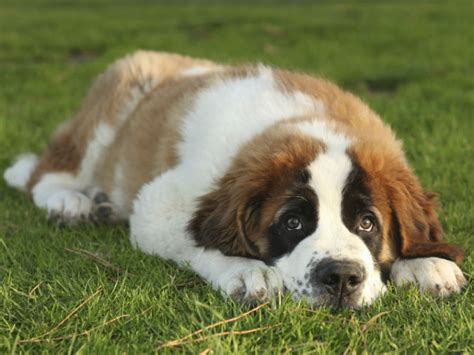 photos of dogs names american kennel club