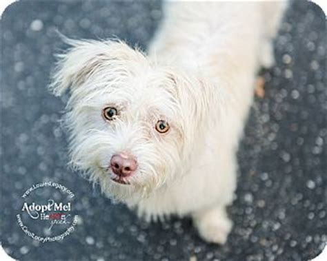 havanese westie mix cincinnati oh havanese westie west highland white terrier mix meet daisey a