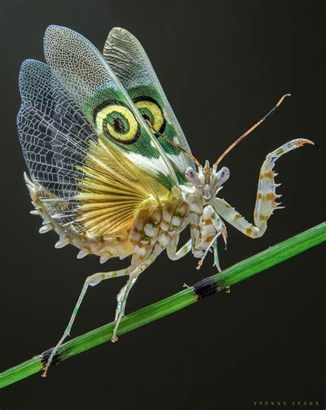 Alas Mouse Macro spiny flower mantis pseudocreobotra wahlbergii photorator