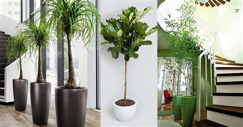 large indoor plants tall houseplants  home