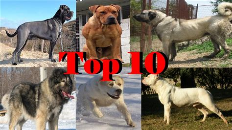 top 10 strongest dogs top 10 strongest dogs 2016