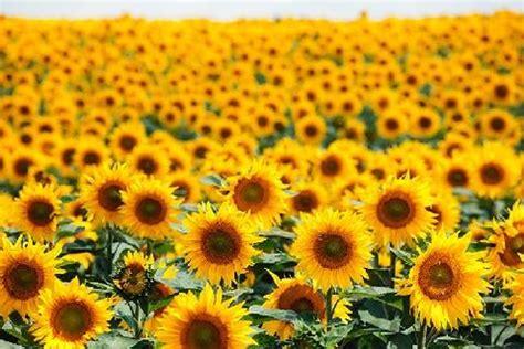 Benih Bunga Matahari Murah fakta unik bunga matahari asmaraku