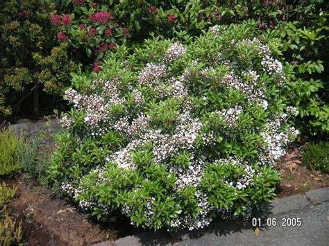 kalmia latifolia kalmia latifolia elf garden pinterest kalmia latifolia