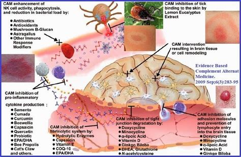 What To Expect When Detoxing From Lymes Disease by 17 Best Images About Lyme On Fibromyalgia