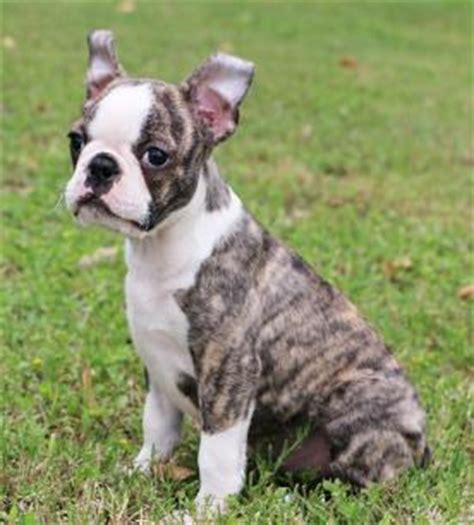 boston terrier puppies for sale in houston boston terrier puppies for sale houston area dogs our friends photo