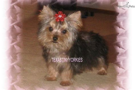 yorkies for sale in abilene tx teacup puppy for sale in abilene breeds picture