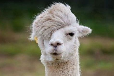 when your llama needs a haircut books 10 llamas with unfortunate haircuts