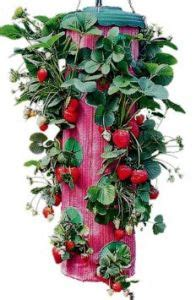 Topsy Turvy Strawberry Planter Reviews by 1000 Ideas About Strawberry Planters On